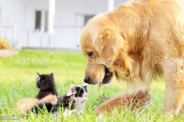 Golden retriever and group of a little cats picture id117147661?b=1&k=6&m=117147661&s=612x612&h=aciapsj4xzcufl cd2inkfn1vki8icskx29o89x2ysg=