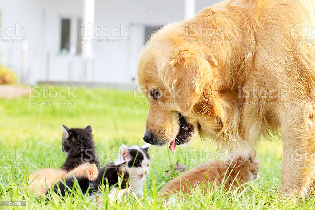 Golden retriever and group of a little cats. stock photo