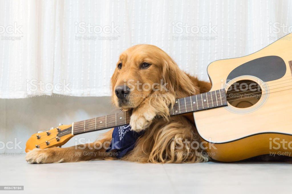 Golden Retriever e guitarra - foto de acervo