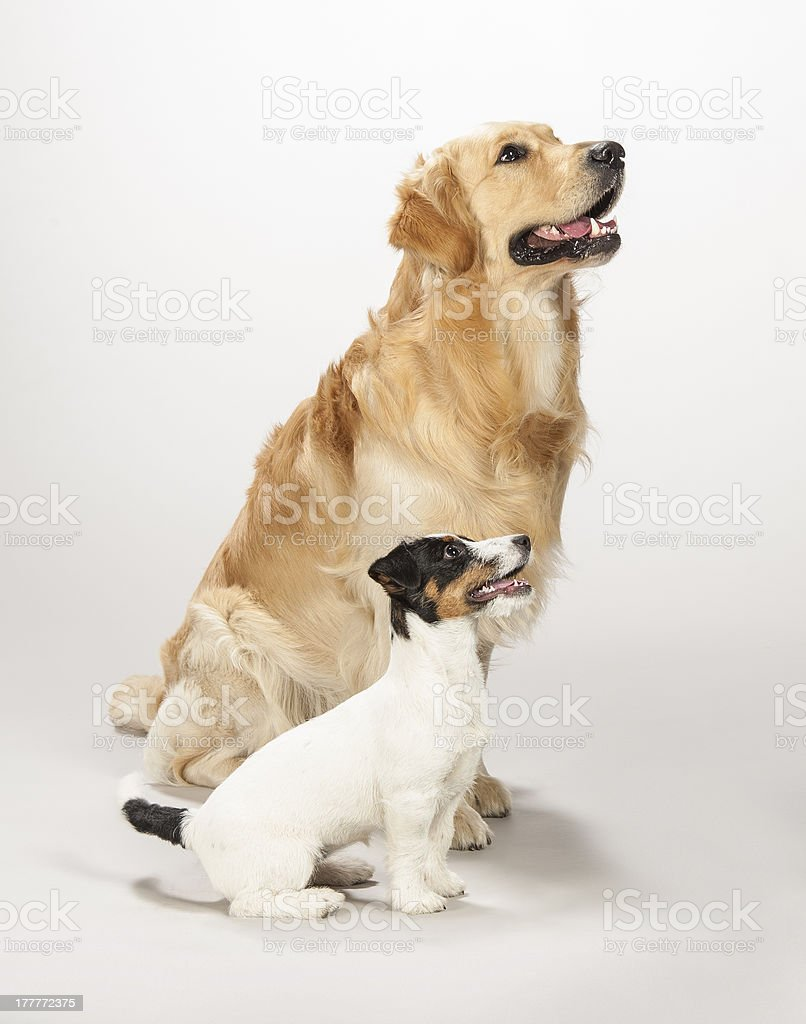 Golden retriever and jack russell stock photo
