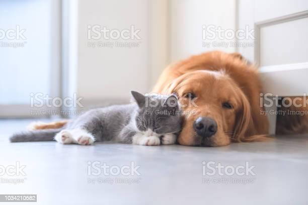 Golden retriever and kitten picture id1034210582?b=1&k=6&m=1034210582&s=612x612&h=kurnljwshrfsavl92pcp7qxpgqoxz1trsihyuitmdpq=