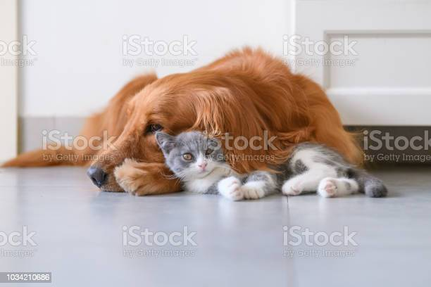 Golden retriever and kitten picture id1034210686?b=1&k=6&m=1034210686&s=612x612&h=wnwkqfbnywsbd6f7fledrminrgdtmacf mbhnqcw9aa=