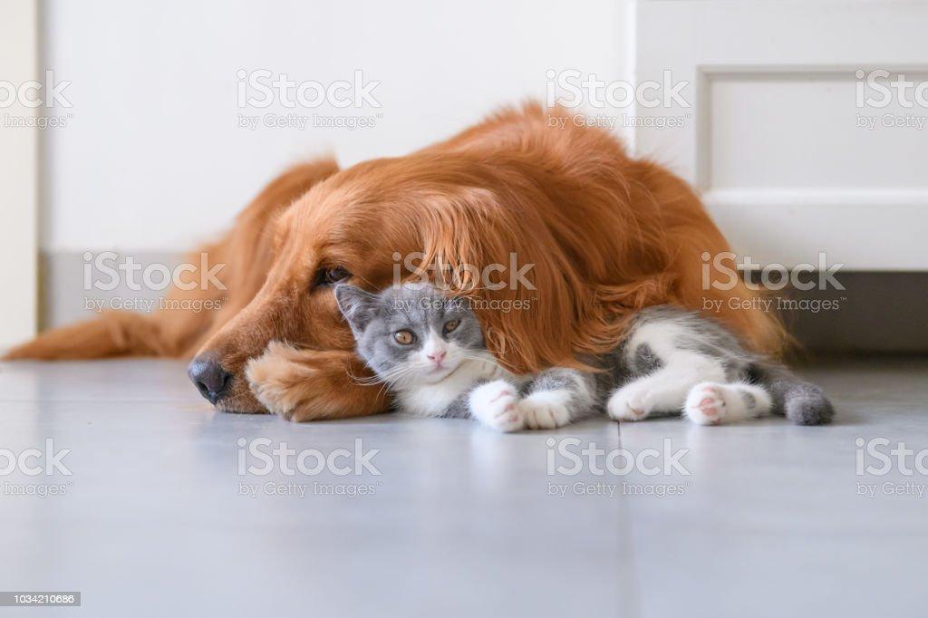 Golden Retriever and Kitten stock photo