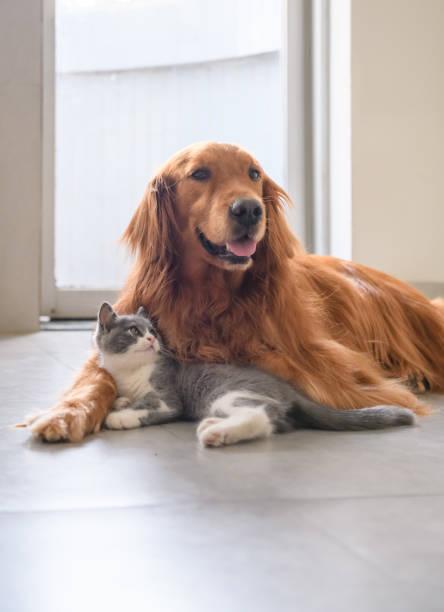 Gatinho e golden Retriever - foto de acervo