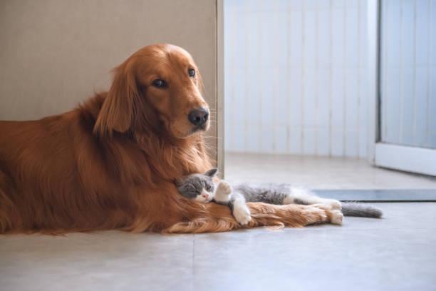 Golden retriever and kitten picture id1036630626?b=1&k=6&m=1036630626&s=612x612&w=0&h=d6scm ayfjj5iyweydzr0kkqa5sntkuixvl9torzvji=