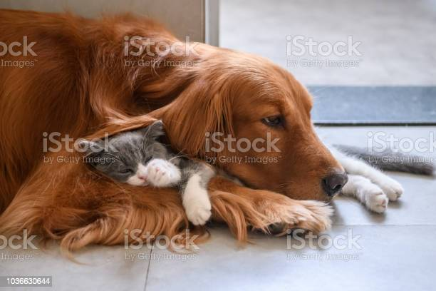 Golden retriever and kitten picture id1036630644?b=1&k=6&m=1036630644&s=612x612&h=wsxfa l0vt0egzyoykfx0q5qsr2gyvorvdvbqtopsb8=
