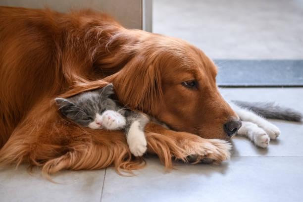 Golden retriever and kitten picture id1036630644?b=1&k=6&m=1036630644&s=612x612&w=0&h=doqeuxcvxs1t4tju6yxg7ftrjty5prljkb v9ieauvk=