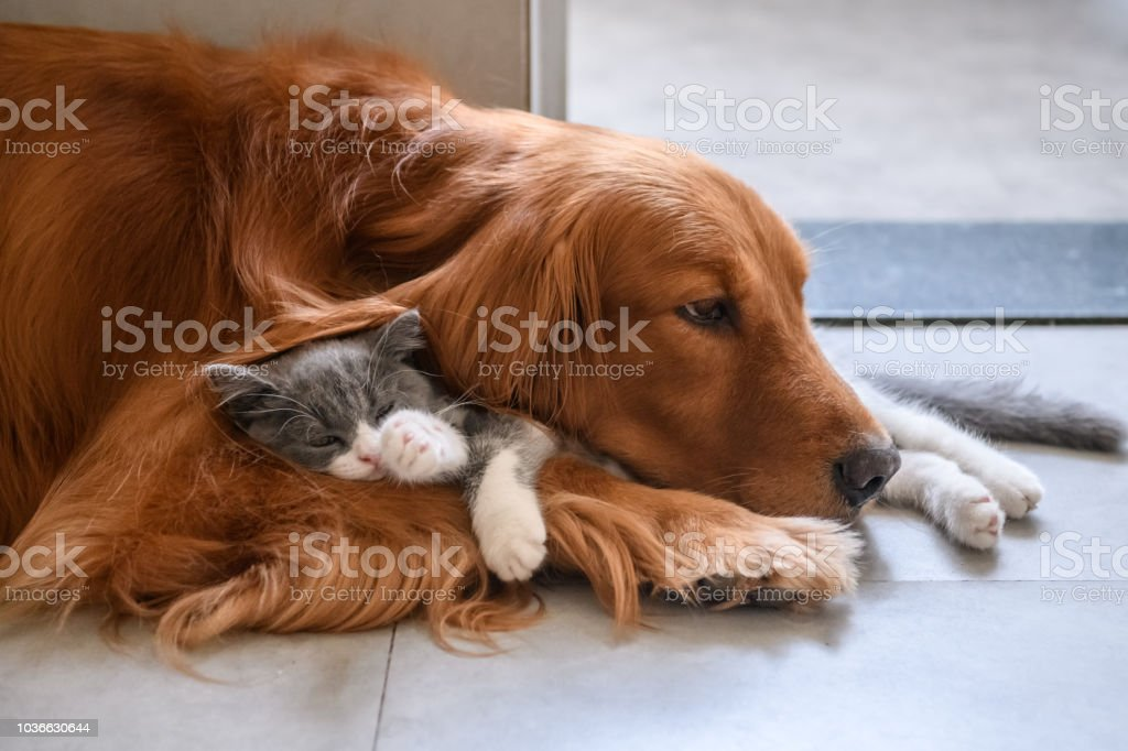 Gatinho e golden Retriever - foto de acervo