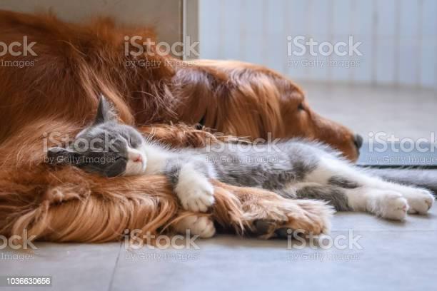 Golden retriever and kitten picture id1036630656?b=1&k=6&m=1036630656&s=612x612&h=ks1 3xwm0rjguweddyjqigtl kg9zfyavrarrng4l i=