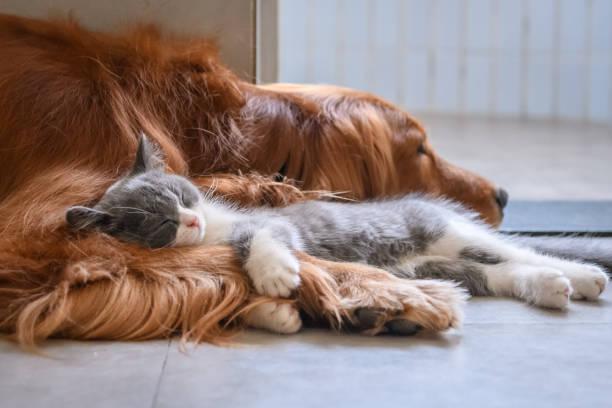 Golden Retriever and Kitten – zdjęcie