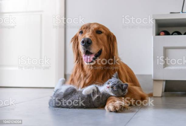 Golden retriever and kitten picture id1040124204?b=1&k=6&m=1040124204&s=612x612&h=ch2eo sulak h43ntnilk4cysdjihedwubl652kznkw=