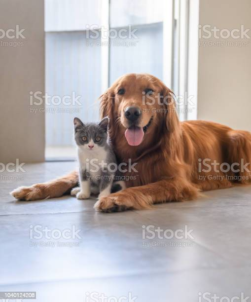 Golden retriever and kitten picture id1040124208?b=1&k=6&m=1040124208&s=612x612&h=c0tp1xn5vi7lwd4kdvzhf9bwdt2dcbry1y0wjvupvxq=