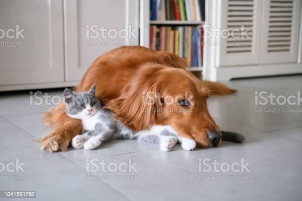 Golden retriever and kitten picture id1041561752?b=1&k=6&m=1041561752&s=612x612&h=nndupqkv9yunx zr7tl6bq0pqsduvrvw8bujdaigyrs=