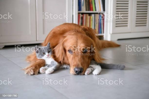 Golden retriever and kitten picture id1041561780?b=1&k=6&m=1041561780&s=612x612&h=54yxmpo3apvhovjwshpvrhtu3cw0v36jcdumz66bqh4=