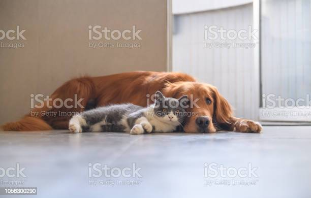 Golden retriever and kitten picture id1058300290?b=1&k=6&m=1058300290&s=612x612&h=x9hohzq3ljkzfu9a9uzfqjt5 nhvvj mdi8fejbdhgo=
