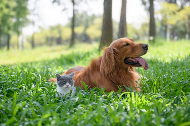 Retriever dourado e gatinho jogando no Prado - foto de acervo