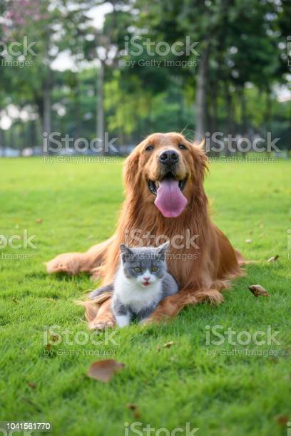 Golden retriever and kitten playing in the meadow picture id1041561770?b=1&k=6&m=1041561770&s=612x612&h=wufkd0wyujjhb2hij2tvh9fbmqdy6sqmjbz4a6ybtkg=
