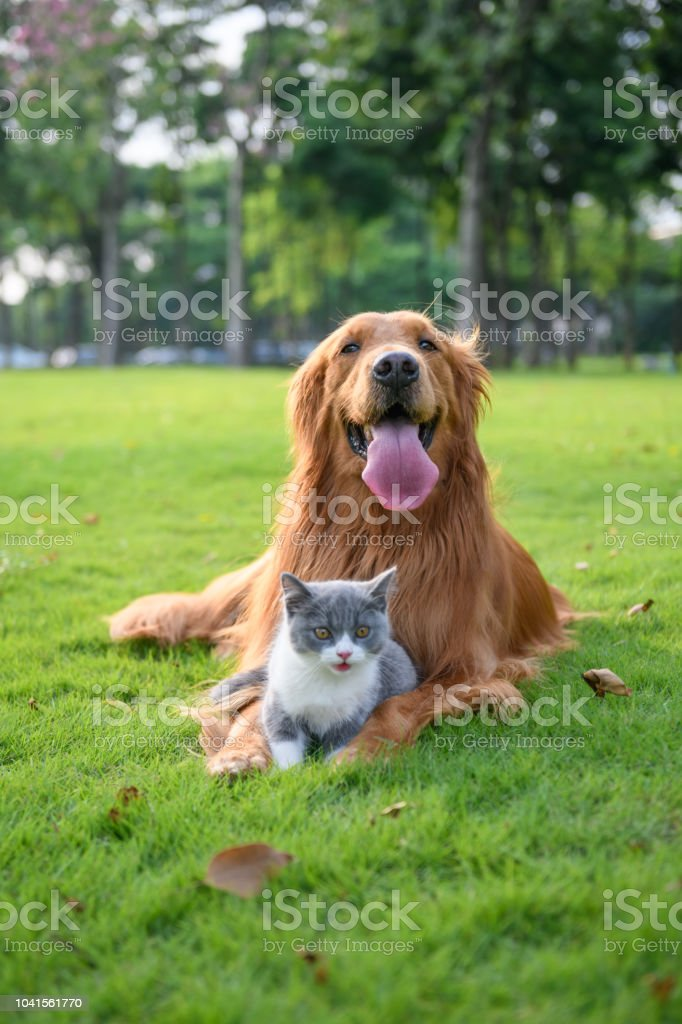 Golden retriever and Kitten playing in the meadow stock photo