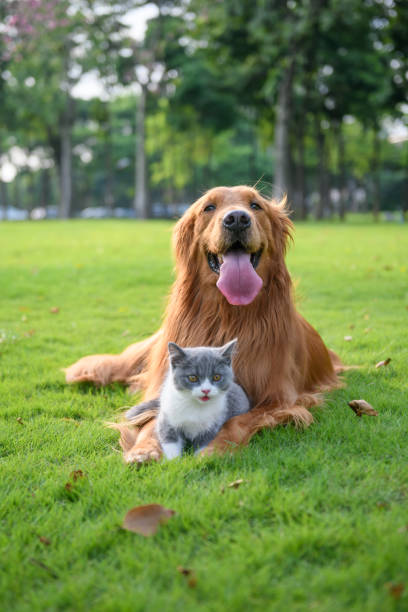 Golden retriever and Kitten playing in the meadow – zdjęcie