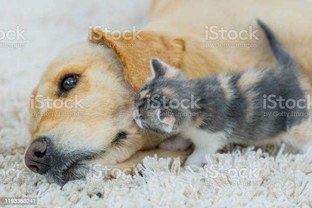 Golden retriever and kitten snuggling stock photo picture id1193366241?b=1&k=6&m=1193366241&s=612x612&h=oqmqgy7bcjfbr r3tg861v3bicviswknvijjun3rstq=