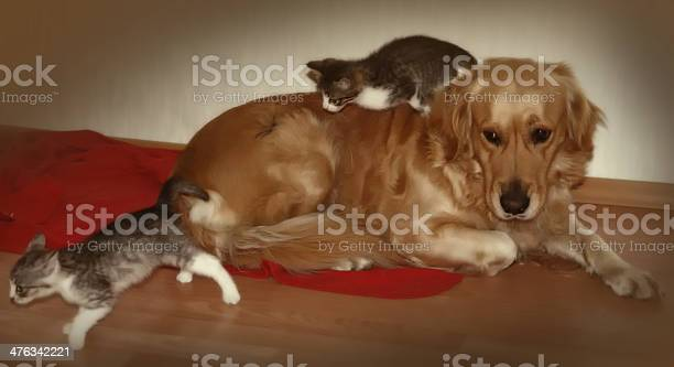 Golden retriever and two kittens playing picture id476342221?b=1&k=6&m=476342221&s=612x612&h=te7z25lcola9ntso5rdffmoturyrarok hhdlfbon6w=