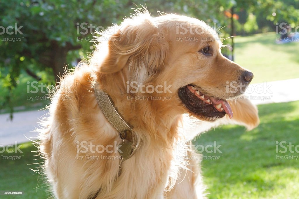 golden retriever at park stock photo