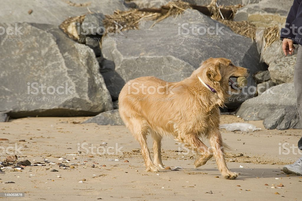 Golden Retriever At Play stock photo