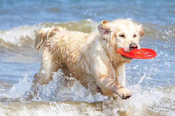 Golden retriever at the beach picture id488030231?b=1&k=6&m=488030231&s=612x612&w=0&h=n3ywlfgkxyhtyj szyprhpdwqhv4eqgnthp z5d2emg=