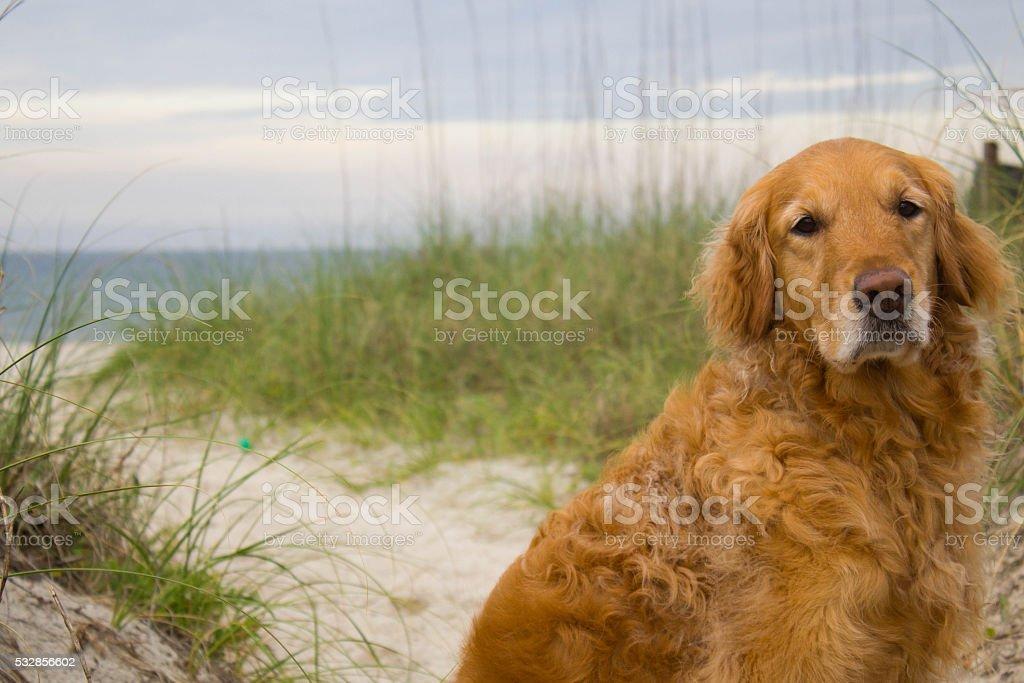 Golden Retriever at the Beach stock photo