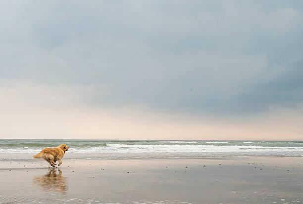 Golden retriever at the beach picture id593335502?b=1&k=6&m=593335502&s=612x612&w=0&h=ctkbznjbydouow1xv50at vnnmjyqxb0ysu8olidzss=