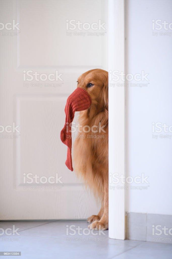 Golden Retriever przy drzwiach - Zbiór zdjęć royalty-free (Skarpetka)