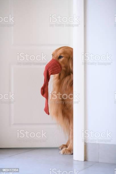 Golden Retriever Przy Drzwiach - zdjęcia stockowe i więcej obrazów Skarpetka