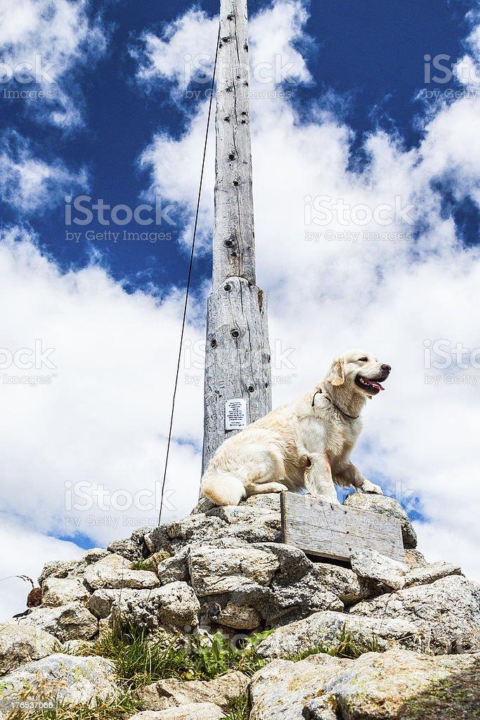 Golden Retriever at the Top stock photo