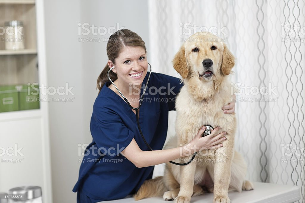 Golden Retriever at the Vet royalty-free stock photo