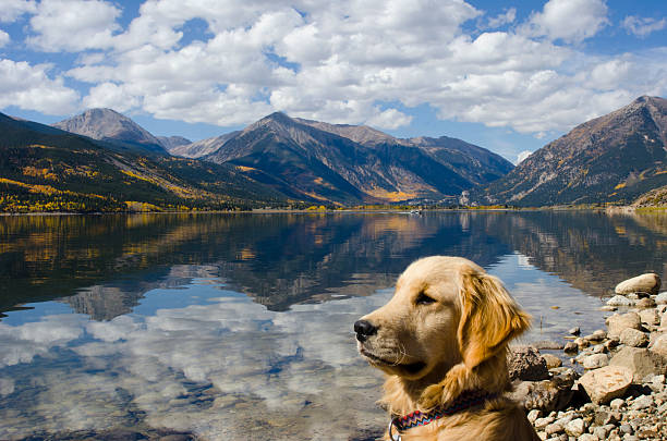 Golden Retriever at Twin Lakes in Autumn