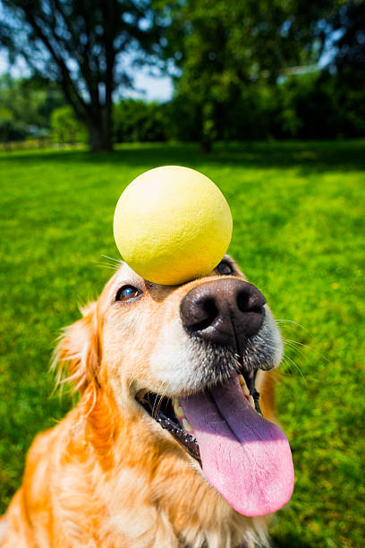 """Golden retriever balancing a ball on her nose A five year old Golden Retriever concentrating on doing a trick by balancing a yellow ball on her nose outside in the yard  """"Missy"""" animal tricks stock pictures, royalty-free photos & images"""