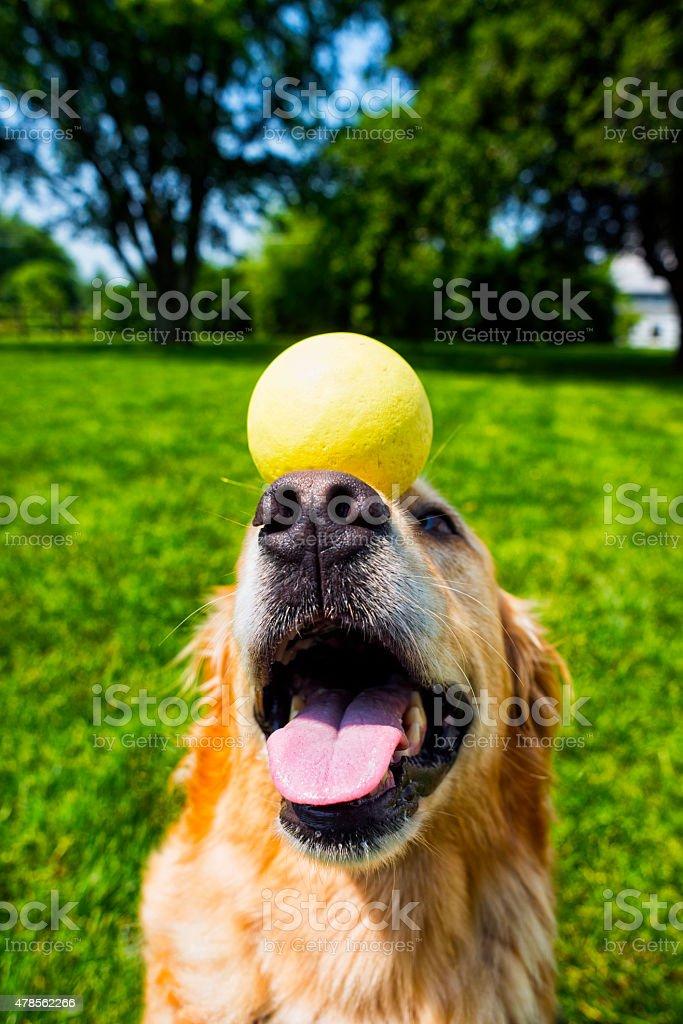 Golden Retriever Balancing A Ball On Her Nose Stock Photo More