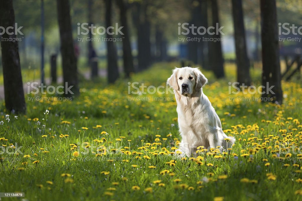 Golden Retriever between dandelions royalty-free stock photo