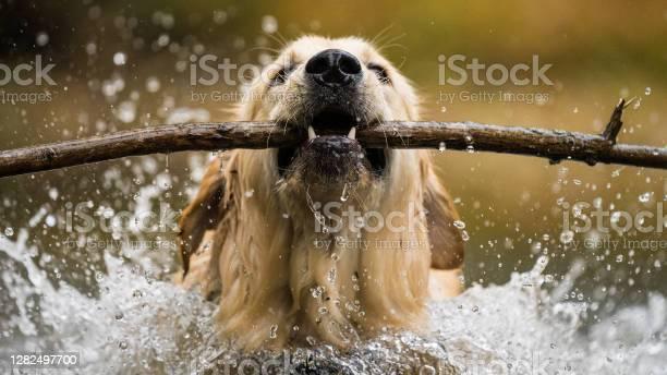 Photo of golden retriever blasting through water with stick