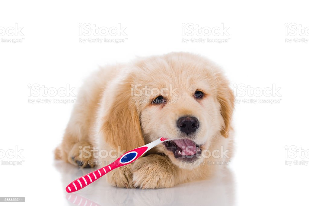Golden retriever  brushing his teeth looking straight isolated o stock photo