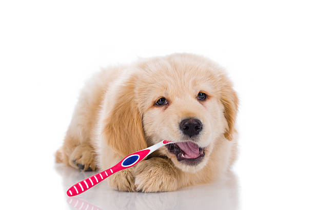 golden retriever  brushing his teeth looking straight isolated o - dents des animaux photos et images de collection