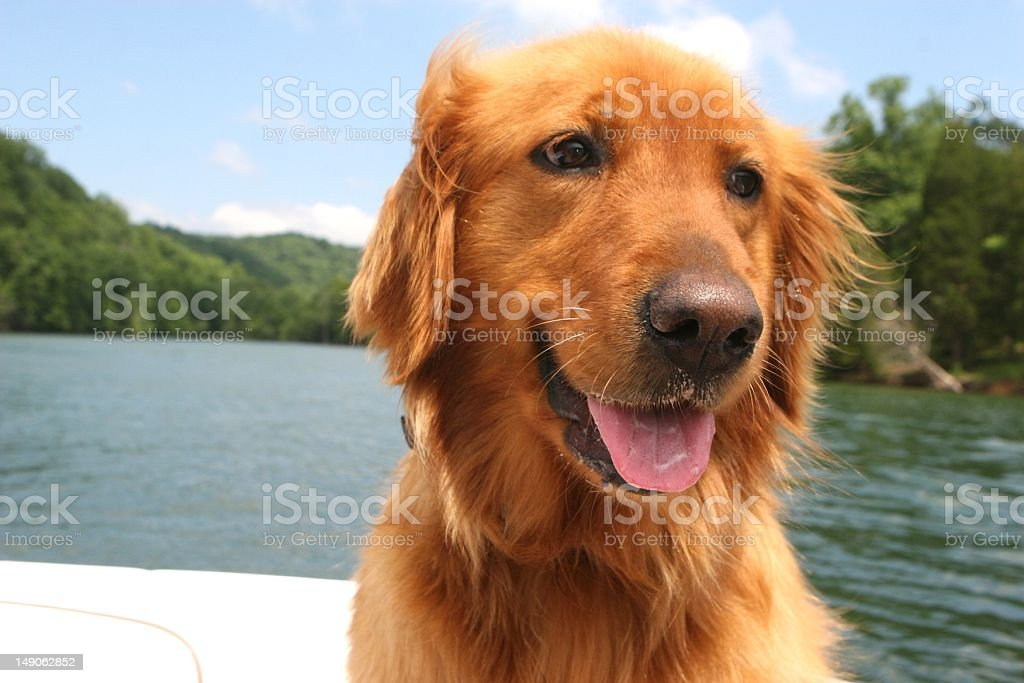 Golden Retriever by Water stock photo