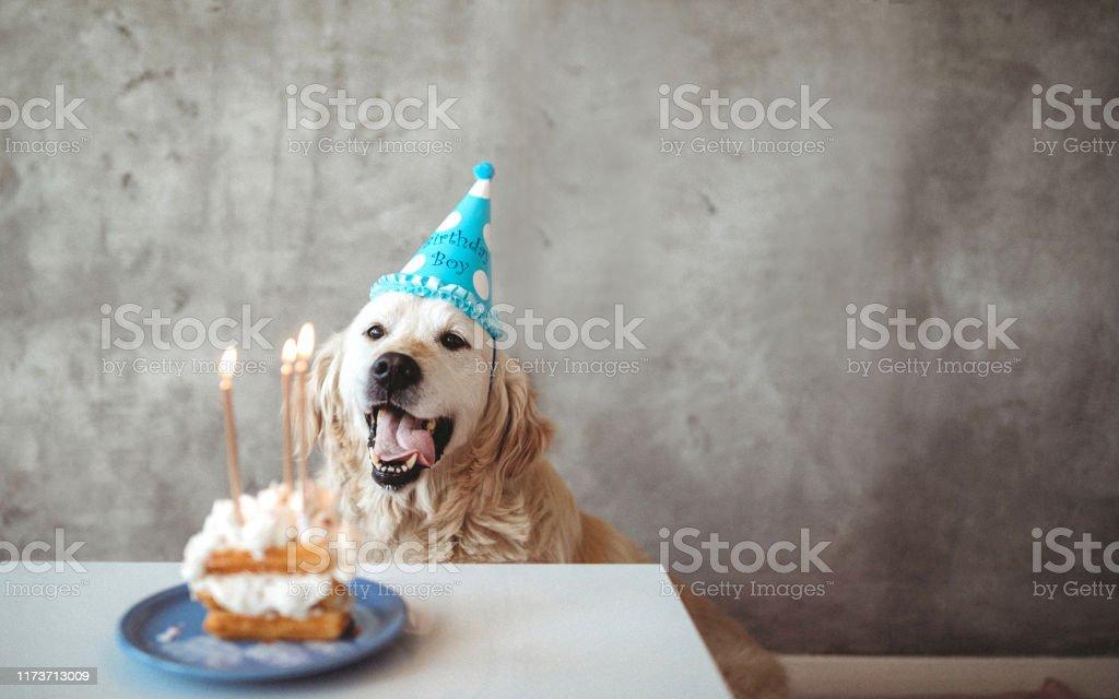 Peachy Golden Retriever Celebrating Birthday With Cake Stock Photo Funny Birthday Cards Online Alyptdamsfinfo