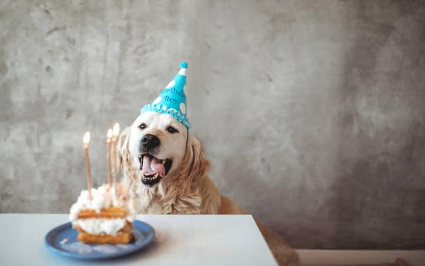 Golden retriever celebrating birthday with cake stock photo