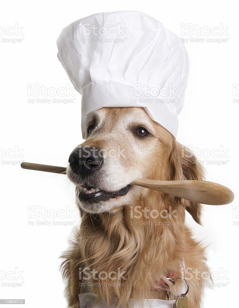 Golden Retriever Chef stock photo