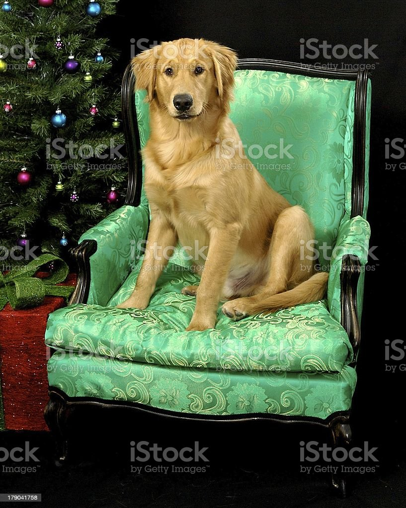Golden Retriever Christmas 2 royalty-free stock photo