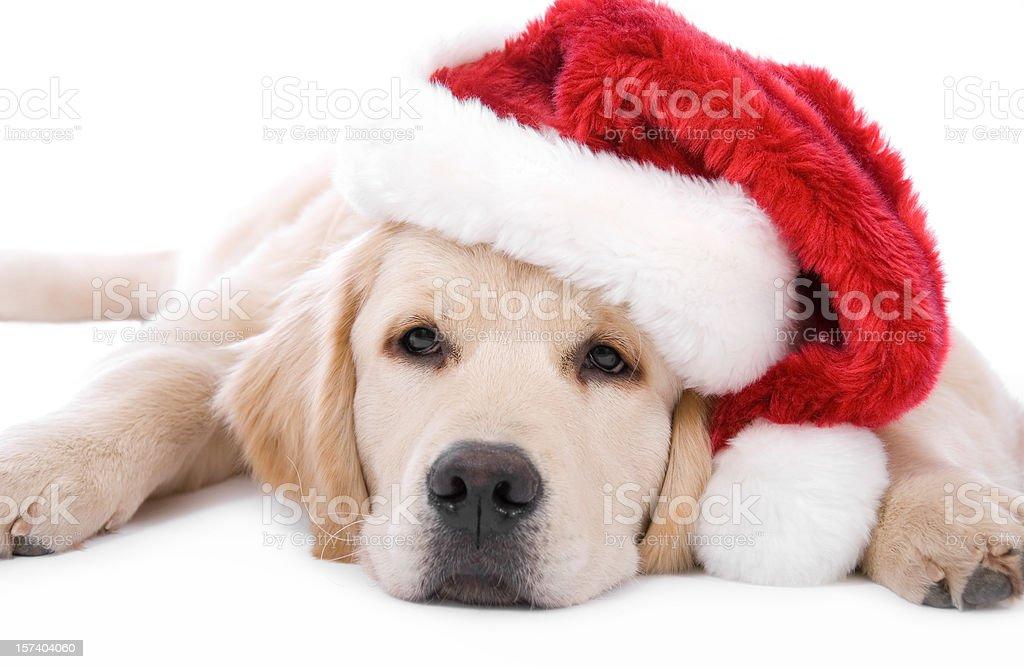 Immagini Natalizie Di Animali.Golden Retriever Natale Fotografie Stock E Altre Immagini