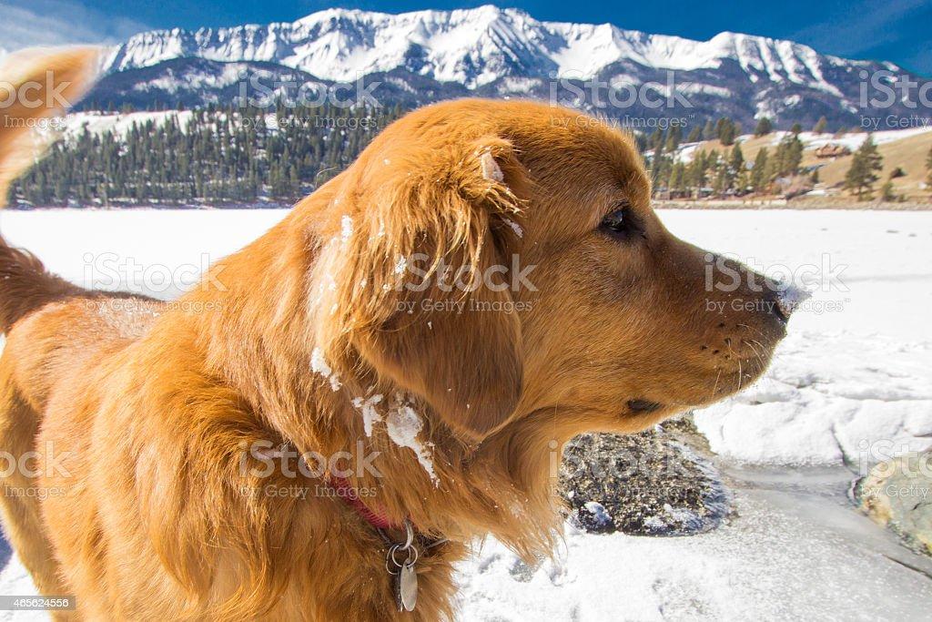 golden retriever closeup on frozen lake with majestic background mountains stock photo