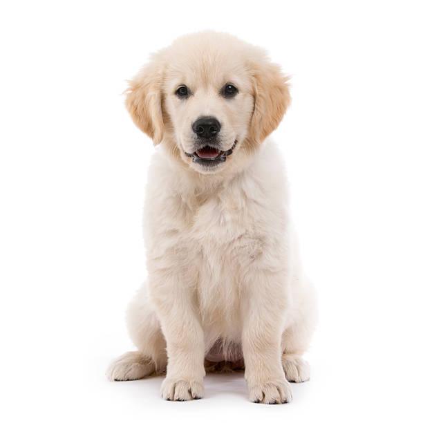 Golden retriever cream puppy picture id452130827?b=1&k=6&m=452130827&s=612x612&w=0&h=aiewpojoqc4 4scbydcsrz mypp1mvwhncwwy c4wlo=