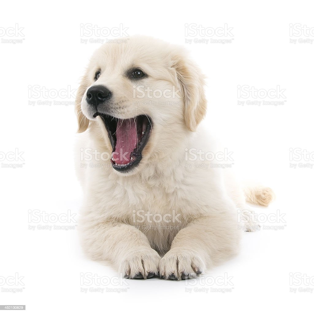 Golden retriever cream puppy royalty-free stock photo